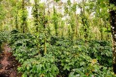 Plantação de Coffe Imagem de Stock Royalty Free