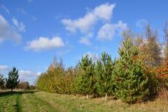 Plantação de conífero e de árvores de folhas mortas sob um azul brilhante Imagem de Stock