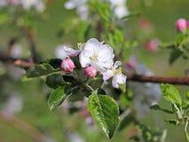 Plantação de florescência da maçã Um pomar novo da formação moderna em uma tarde ensolarada da mola Uma flor de uma árvore de maç fotografia de stock