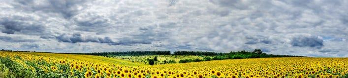 Plantação de girassóis dourados Fotos de Stock Royalty Free