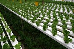 Plantação de Hydrophonic Imagens de Stock