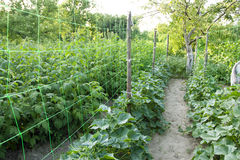 Plantação de pepinos verdes Fotografia de Stock Royalty Free