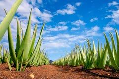 Plantação de vera do aloés Fotografia de Stock
