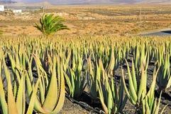 Plantação de vera do aloés em Fuerteventura, Spain Foto de Stock