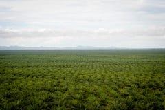 Plantação do óleo de palma imagens de stock royalty free