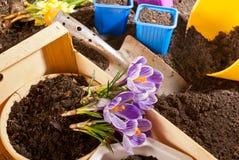 Plantação do açafrão violeta Fotos de Stock Royalty Free