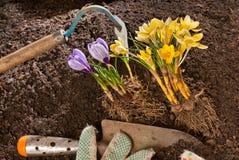 Plantação do açafrão violeta Imagem de Stock Royalty Free