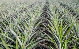 Plantação do abacaxi Imagem de Stock