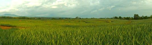 Plantação do abacaxi Fotografia de Stock