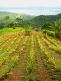 Plantação do abacaxi Foto de Stock