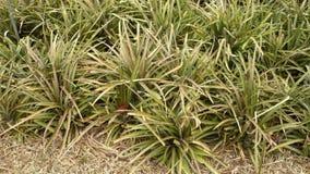 Plantação do abacaxi Imagem de Stock Royalty Free