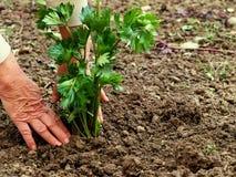 Plantação do aipo Imagem de Stock Royalty Free