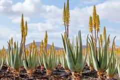 Plantação do aloés medicinal vera Foto de Stock
