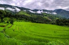Plantação do arroz imagens de stock