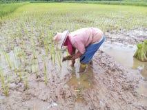 Plantação do arroz Fotografia de Stock