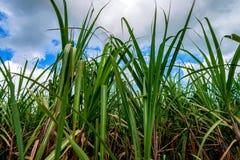 Plantação do cana-de-açúcar Foto de Stock