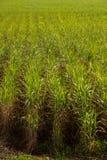 Plantação do cana-de-açúcar imagens de stock