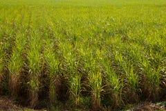 Plantação do cana-de-açúcar fotos de stock
