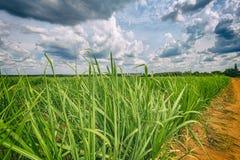 Plantação do cana-de-açúcar e céu nebuloso - coutryside de Brasil fotografia de stock royalty free