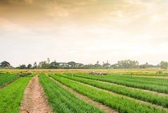 Plantação do cebolinha fresco e novo Imagens de Stock