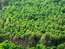 Plantação do eucalipto em Brasil - agricultura do papel da celulose - opinião do zangão do birdseye fotografia de stock