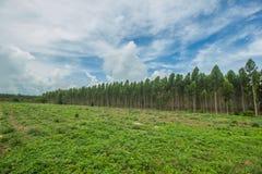 Plantação do eucalipto onde os povos plantaram Foto de Stock