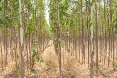 A plantação do eucalipto para a indústria de papel imagem de stock royalty free