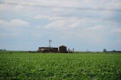 Plantação do feijão de soja Fotografia de Stock