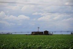 Plantação do feijão de soja Fotos de Stock