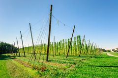 Plantação do lúpulo em Upper Austria Foto de Stock