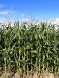 Plantação do milho Fotos de Stock Royalty Free