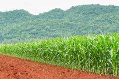 Plantação do milho em Tailândia Fotos de Stock Royalty Free