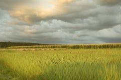 Campo do milho no grupo do sol imagens de stock royalty free