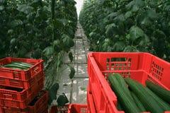 Plantação do pepino da estufa Imagem de Stock