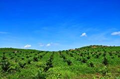 Plantação do petróleo de palma Fotos de Stock Royalty Free