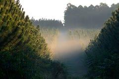 Plantação do pinho Fotos de Stock Royalty Free
