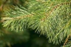 Plantação do pinho Foto de Stock Royalty Free