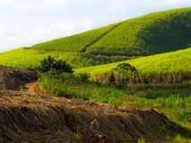 Plantação do Sugarcane Fotos de Stock Royalty Free
