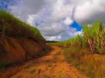 Plantação do Sugarcane Fotografia de Stock