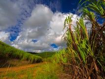 Plantação do Sugarcane Imagem de Stock