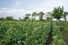 Plantação do tabaco Fotografia de Stock Royalty Free