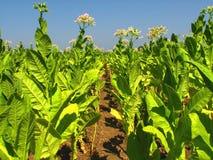 Plantação do tabaco Fotografia de Stock