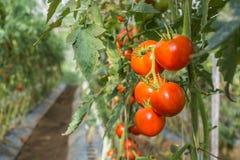 Plantação do tomate Fotografia de Stock
