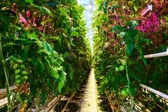 Plantação do tomate com iluminação conduzida especial na estufa fotografia de stock royalty free