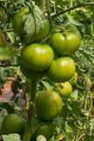 Plantação do tomate na estufa Fotos de Stock