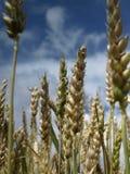Plantação do trigo Fotografia de Stock Royalty Free