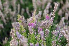 Plantação e cuidado para arbustos da urze foto de stock