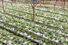 Plantação genérica da morango da pequena escala em Cameron Highlands, Malásia imagem de stock