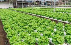 Plantação hidropônica do vegetal Fotos de Stock