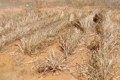 Plantação madura paralelamente Imagem de Stock